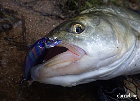 Triplé d'aspes aux petits poissons nageurs