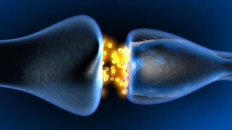 La rapamycine inverse la perte de synapses et la réduction du débit sanguin cérébral associées au vieillissement.