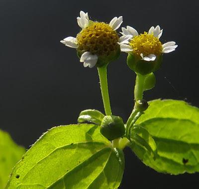 Galinsoga glabre (Galinsoga parviflora)