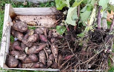 La récolte 2019 des poires de terre (vidéo)