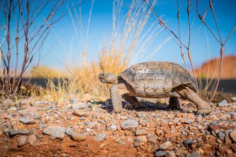 desert tortue