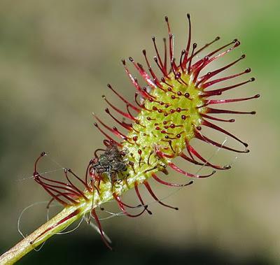 Rossolis intermédiaire (Drosera intermedia)