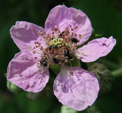 Ronce (Rubus sp.)