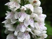 Orchis Fuchs (Dactylorhiza fuchsii)