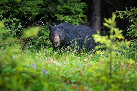 ours noir banff