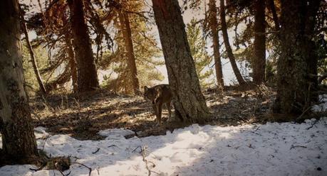 Film documentaire Marche Avec Les Loups