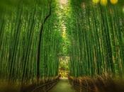 fougère bambou