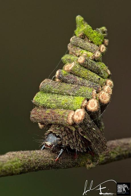 Dans la famille des animaux architectes, les larves de psychidés!