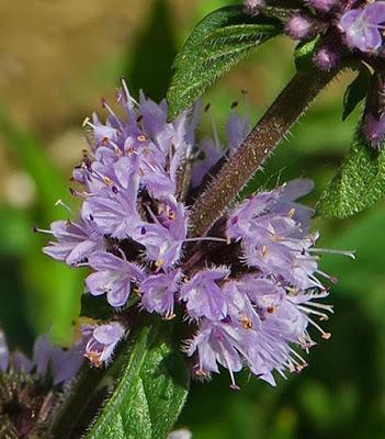 Menthe pouliot (Mentha pulegium)