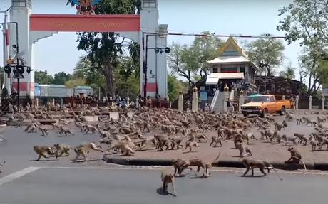 Des singes déchainés envahissent les rues désertes en Thaïlande