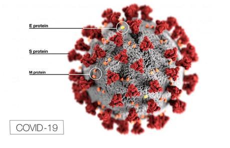 SRAS-CoV-2, qui cause COVID-19, se lie la protéine de liaison S à ces récepteurs de l'ECA2 des voies respiratoires inférieures pour pénétrer dans les poumons.