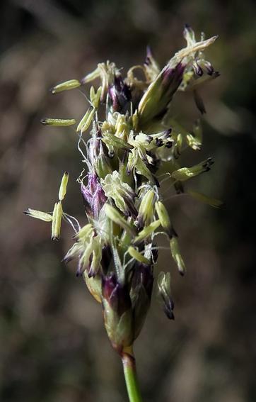 Seslérie bleue (Sesleria caerulea)