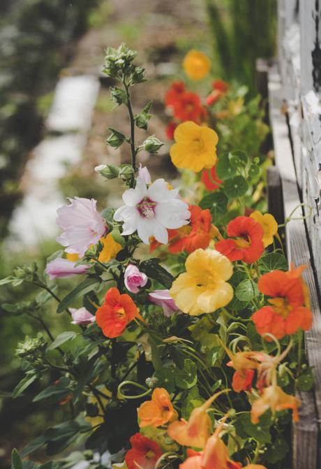 capucines fleurs orange jaune jardin bio astuces écolo - blog déco - clematc