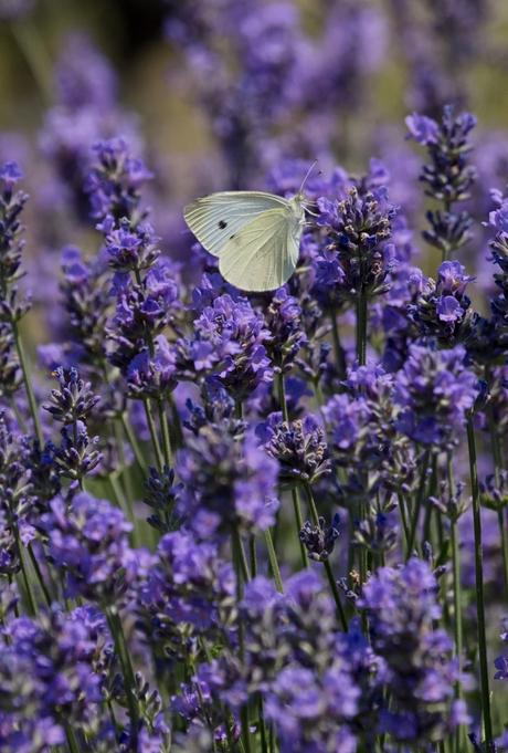 lavender lavande combinaisons gagnante jardin bio biodiversités repousser les insectes - blog déco - clemaroundthecorner