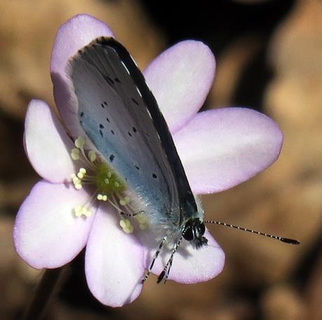 Azuré printanier (Celastrina argiolus)