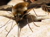Bombyle (Bombylius sp.)