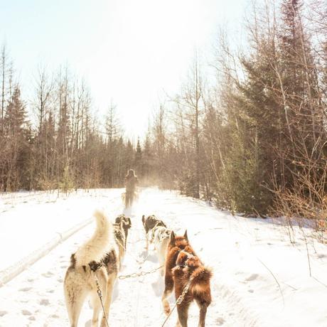 hiver au canada chien de traineau