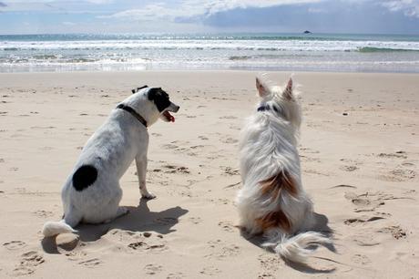 deux chiens assis face à la mer