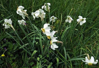 Narcisse des poètes (Narcissus poeticus)
