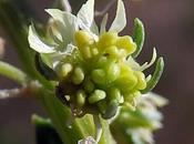 Réséda jaune (Reseda lutea)