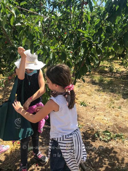 Cueillir des cerises à Brentwood, CA