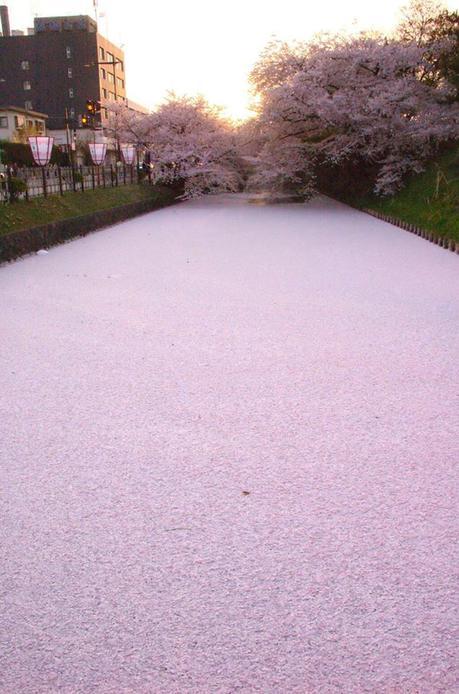 Votre moment de zen : un cours d'eau couvert de pétales de cerisiers. Hirosaki, Aomori, Japon.
