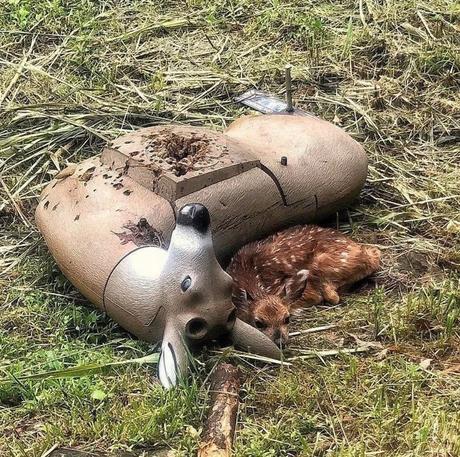 Fou comment cette photo d'un Faon blotti contre une cible de tir en forme de cerf peut rappeler immédiatement les pires moments de Bambi...