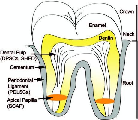 Localisation des cellules souches de la crête neurale dans la dent
