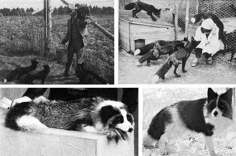 Dimitry Belyaev et ses renards