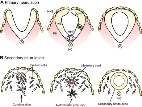 Neurulation secondaire