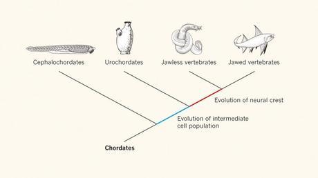 Evolution des cellules de crêtes neurales