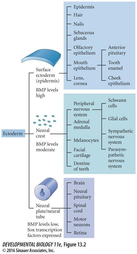 Destin des cellules des crêtes neurales