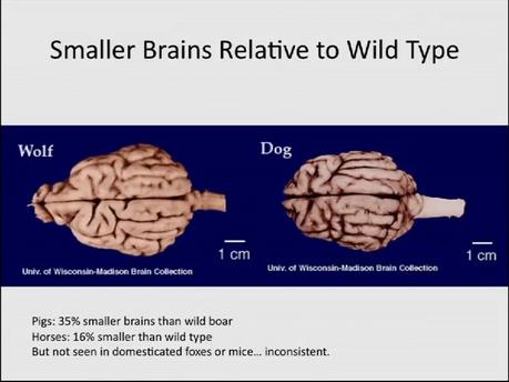 Cerveau réduit