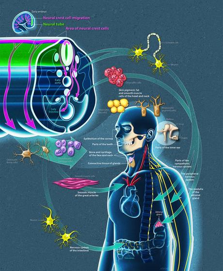 Crêtes neurales chez l'humain