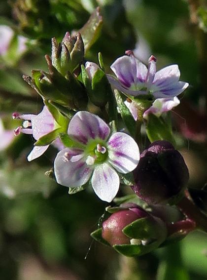 Véronique aquatique (Veronica catenata)
