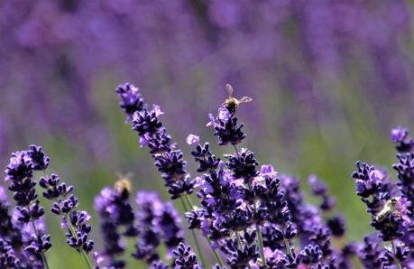 Pourquoi les abeilles sont indispensables à la pollinisation?