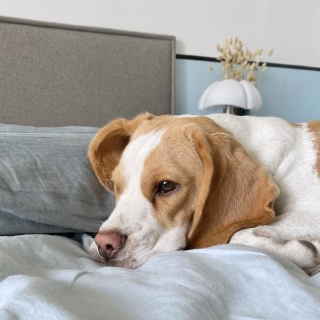 adopter chien beagle lemon chiot - blogueuse déco clem around the corner