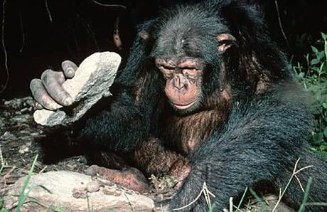 Chimpanzé avec outil