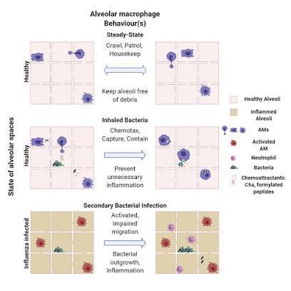 #Cell #macrophagesalvéolaires #bactéries La Surveillance des Macrophages Alvéolaires Dissimulent les Bactéries du Système Immunitaire pour Maintenir l'Homéostasie