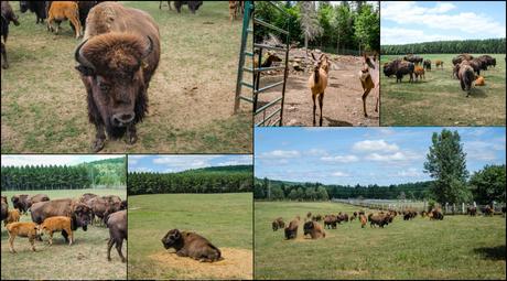 terre des bisons