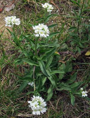Bertéroa blanchâtre (Berteroa incana)