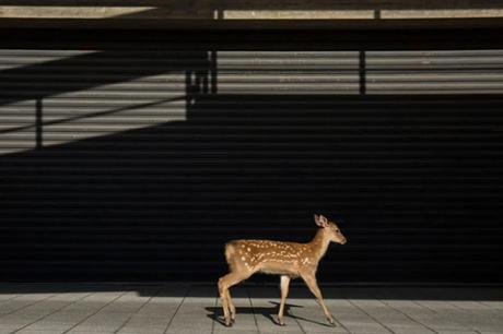 Dans la ville de Nara, au Japon, les cerfs se promènent en liberté. La photographe Yoko Ishii en a profité