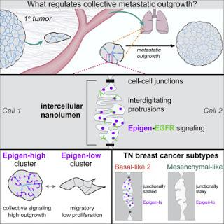 #Cell #signalisation #nanolumière #métastases Régulation des Métastases Collectives par la Signalisation Nanoluminale