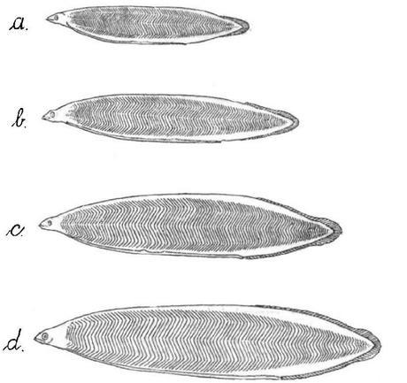 Leptocephalus brevirostris, Hjort, J. (1910)
