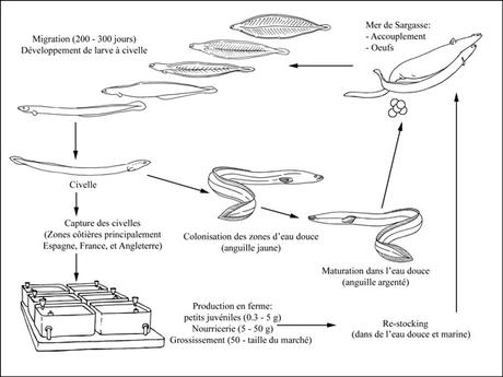 Cycle de production de Anguilla anguilla
