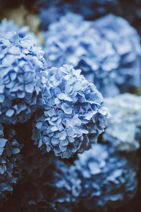 horthencia bleu engrais naturel - blog déco - clemaroundthecorner