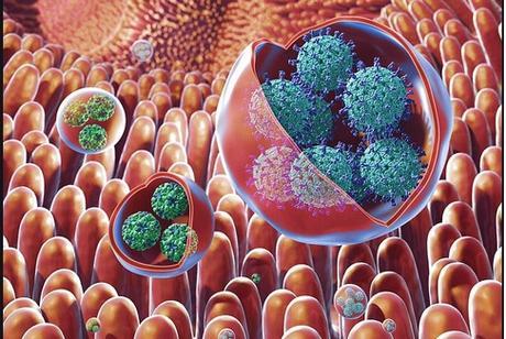Le virus déclenche la maladie en infectant un petit groupe d'entérocytes dans l'intestin qui envoie des signaux perturbant le fonctionnement des cellules voisines non infectées pour déclencher une maladie plus sévère (Visuel NIH)