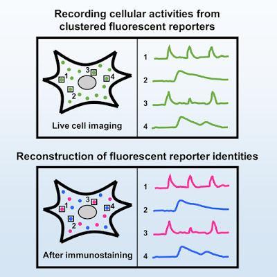 #Cell #signalisationcellulaire #rapporteursfluorescents #multiplexage Multiplexage Spatial de Rapporteurs Fluorescents pour l'Imagerie de la Dynamique des Réseaux de Signalisation