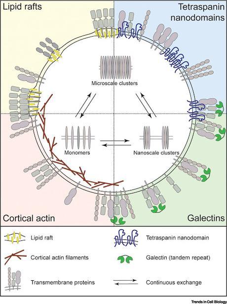 #Cell #membraneplasmique #organisation Organisation Dynamique de la Membrane Plasmique : Une Complexe Symphonie