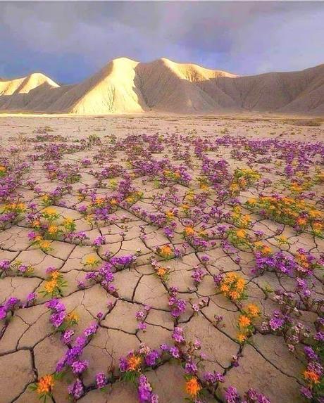 Après d'extrêmement rares précipitations, le désert de l'Atacama, l'un des plus secs de la planète, peut se couvrir de près de 200 espèces de fleurs différentes. Un phénomène portant le nom poétique de Desierto florido